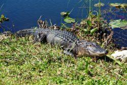 Aligatorius. Evergleidso nacionalinis parkas, JAV