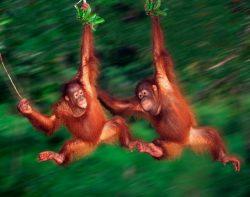 Borneo orangutangai, Malaizija
