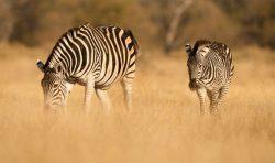 Zebrai, Botsvana