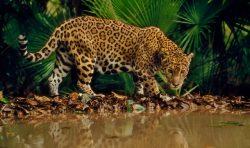 Jaguaras, Belizas