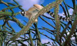 Lemūras, Madagaskaras